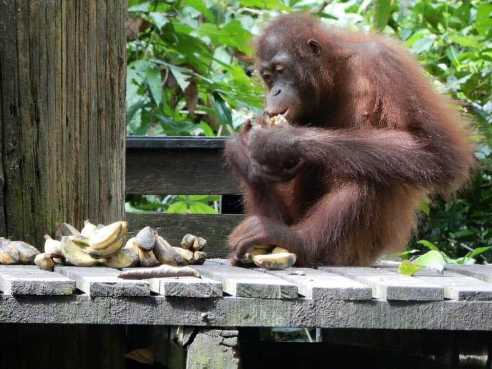 Orang-Oetans spotten Maleisisch Borneo