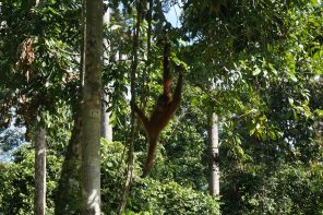 orang-oetan, sepilok borneo